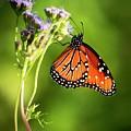 Addicted Queen Butterfly by Harriet Feagin