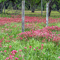 Adding A Splash Of Color-indian Paintbrush In Texas by Usha Peddamatham