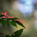 Adding Color To The Holly by Mike Reid