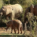 Addo Elephant Family by Jennifer Wheatley Wolf