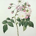 Adelia Aurelianensis by Pierre Joseph Redoute