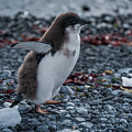 Adelie Penguin Chick Running Along Stony Beach by Ndp
