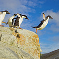 Adelie Penguins Jumping by Yva Momatiuk John Eastcott