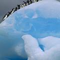 Adelies In Blue Iceberg by Tui de Roy