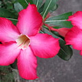 Adenium 2 by Cindy Kellogg