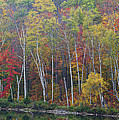 Adirondack Birch Foliage by Tony Beaver