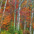 Adirondack Birches In Autumn by Tony Beaver