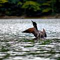 Adirondack Loon 4 by Tony Beaver
