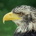 Adler Bald Eagle by Adam Asar
