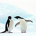 Adélie Penguins by Angelika Stern
