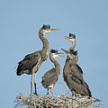 Adolescent Great Blue Herons by Pat Miller
