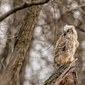 Adolescent Owl 07.... by Paul Vitko