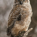 Adolescent Owl 08.... by Paul Vitko