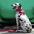 Happy Dalmatian  by Toni Hopper