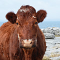 Adorable Brown Cow Standing On The Burren by DejaVu Designs