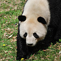 Adorable Face Of A Black And White Giant Panda Bear by DejaVu Designs