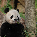 Adorable Giant Panda Eating A Shoot Of Bamboo by DejaVu Designs