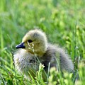 Adorable Goose Chick by Jeramey Lende