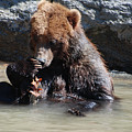 Adorable Grizzly Bear Playing With A Maple Leaf While Sitting In by DejaVu Designs