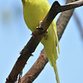 Adorable Little Yellow Parakeet In A Tree by DejaVu Designs