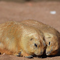 Adorable Pair Of Prairie Dogs Cuddling Together by DejaVu Designs