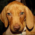 Adorable Vizsla Puppy by Anita Hiltz