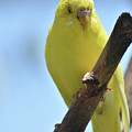Adorable Yellow Budgie Parakeet Bird Close Up by DejaVu Designs