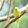 Adorable Yellow Budgie Parakeet Relaxing In A Tree by DejaVu Designs