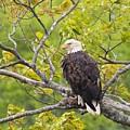 Adult Bald Eagle by Debbie Stahre