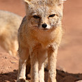 Adult Kit Fox Ears And All by Max Allen