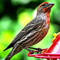 Adult Male House Finch by Jay Milo