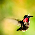 Adult Male Ruby-throated Hummingbird by Alicia Collins