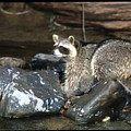 Adult Raccoon Hunting by Larry Allan