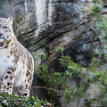 Adult Snow Leopard Standing On Rocky Ledge by Jane Rix