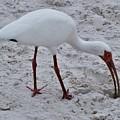 Adult White Ibis by Warren Thompson
