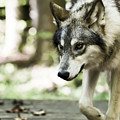 Aero Wolf 1 by Tracy Winter