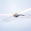 Aeshna Juncea - Common Hawker In by John Edwards