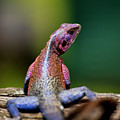 African Agama Lizard  by David Macharia