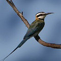 African Bee Eater by Joseph G Holland