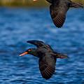African Black Oystercatchers by Basie Van Zyl