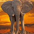 African Bull Elephant At Sunset by Larry Linton
