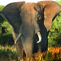 African Bull Elephant by Joseph G Holland