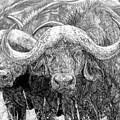 African Cape Buffalo by Dan Pearce