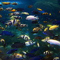 African Cichlids 2 by Pat Turner