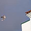 African Collared Dove 1 by Jouko Lehto