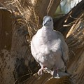 African Collared Dove 3 by Jouko Lehto