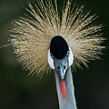 African Crowned Crane At The Omaha Zoo by Joel Sartore