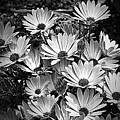 African Daisies In Black And White by Smilin Eyes  Treasures