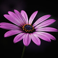 African Daisy Glow by Andrea Silies