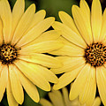 African Daisy-twice by Don Johnson